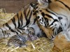 YORKSHIRE BORN AND BRED, ONE OF THE WORLD'S RAREST TIGERS